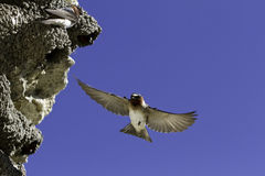 A cliff swallow (Petrochelidon pyrrhonota) in mid air. A cliff swallow (Petrochelidon pyrrhonota) is caught in mid-flight, with wings extended, while slowing Stock Image