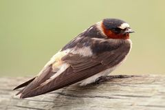 Cliff Swallow (Petrochelidon pyrrhonota) Royalty Free Stock Image