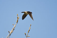 Cliff Swallow Taking to Flight from a Tree Stock Image