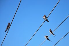 Cliff swallows. Are siting on the wire stock photos