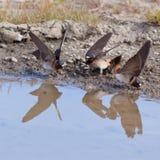 Cliff swallows Hirundo pyrrhonota gathering mud Royalty Free Stock Images