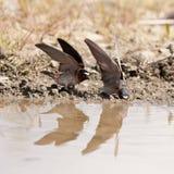 Cliff swallows Hirundo pyrrhonota gathering mud Stock Photos