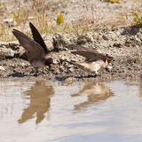 Cliff swallows Hirundo pyrrhonota gathering mud Stock Photography
