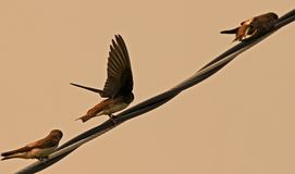 Cliff Swallows Royalty Free Stock Image