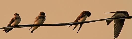 Cliff Swallows Team Arkivfoto