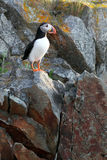 Cliffhanger. Atlantic Puffin on a cliff in Newfoundland, Canada Stock Images