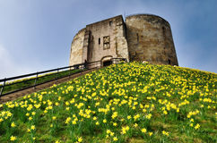 Cliffords Tower With Spring Daffodils. Cliffords Tower, the ruin of the keep at York Castle, dominating its grassy motte which is covered in cheerful yellow Royalty Free Stock Image