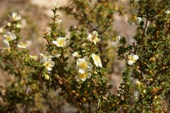 Cliffrose. A blooming Cliffrose shrub at Grand Canyon Stock Image
