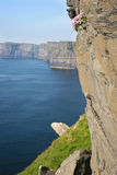 Cliffs of Moher, Ireland. Cliffs of Moher in the summer, Ireland Royalty Free Stock Image