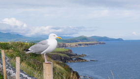 Cliffs of Moher with seagull Royalty Free Stock Photography