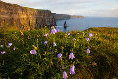 Cliffs of Moher with Wild flowers. Royalty Free Stock Image