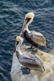 Cliffside 2 пеликанов коричневого цвета Калифорнии Стоковые Изображения RF