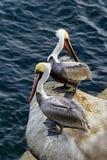 Cliffside 2 пеликанов коричневого цвета Калифорнии Стоковые Изображения