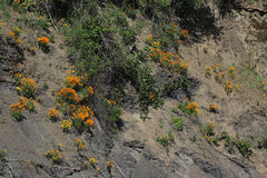 Cliffside Golden Poppies Stock Images