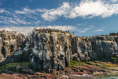 Clifftopkolonie van zeevogels Royalty-vrije Stock Afbeelding