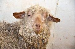 Cligner de l'oeil des moutons avec la laine emmêlée Image libre de droits