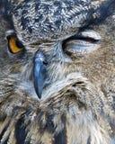 Cligner de l'oeil le hibou Image libre de droits