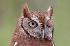 Cligner de l'oeil oriental de Cri-Hibou (asio de Megascops) images stock