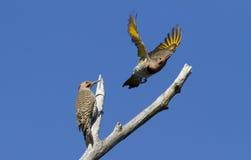 Clignotement du nord de deux mâles Images libres de droits