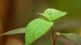 Clima caldo di caduta della natura del fogliame della pianta delle gocce di pioggia video d archivio