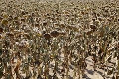 Climate change. Natural disaster, drought in a sunflowers field, Serbia, Vojvodina 2012 Royalty Free Stock Photo