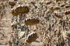 Climate change. Natural disaster, drought in a sunflowers field, Serbia, Vojvodina 2012 Stock Photos