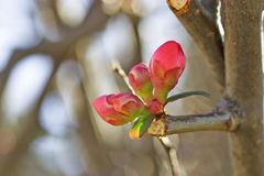 Climate change - Bud in January Royalty Free Stock Photo