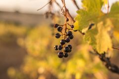 Climate change ruins the grape harvest due to drought.  stock images