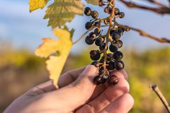 Climate change ruins the grape harvest due to drought.  royalty free stock photo