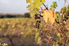 Climate change ruins the grape harvest due to drought.  stock image