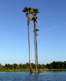 Climate warming effect. Palm trees, surrounded by flood waters, soar into blue sky stock photography
