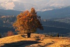 Climax dell'autunno dorato Un vecchio faggio solo, Lit da Autumn Sun, con molto fogliame arancio sui precedenti delle montagne Immagini Stock