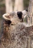 Climb. Raccoon climbing in a tree Stock Images