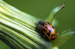 Climb Lady Bug. A ladybug climbs the stock of a flower Stock Images