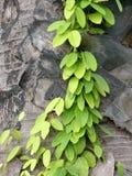 Climber. Vine climbing up a treetrunk Stock Image