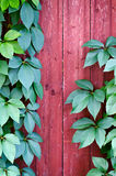 Climber big green leaves growing and climbing on wooden fence Stock Photography