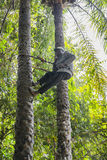 Climber on coconuts palm Royalty Free Stock Photography