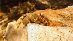 Climber crab stock footage