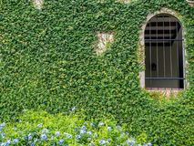Climber green plant with old wall and window background.Old brick wall with green tree. royalty free stock photo
