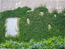 Climber green plant with old wall and window background.Old brick wall with green tree. royalty free stock image