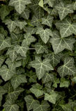 Climber Hedera hibernica known as ivy Royalty Free Stock Photos