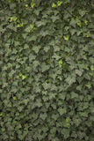 Climber Hedera hibernica known as ivy Royalty Free Stock Image
