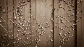 Climber ivy, hedera on old wooden shabby board Stock Photos
