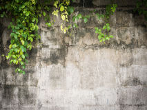 Climber (leaf) cover on grunge cement wall Royalty Free Stock Photos