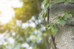 Climber plant climbing up tree trunk with blur bokeh background Stock Photo