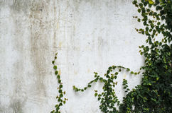 Climber plant on  concrete wall Stock Image