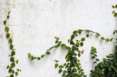 Climber plant on  concrete wall Stock Images