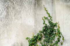Climber plant on  concrete wall Stock Photo