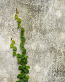Climber plant on  concrete wall Royalty Free Stock Image