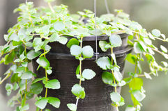 Climber plant Royalty Free Stock Image
